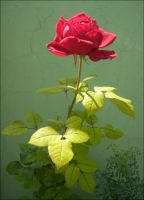 Red Rose under the Sun... by Villenueve