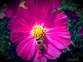 Summer Flower + Bee 2012 - 26 by Ingnition