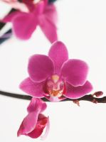 Orchid Shot by fahsi