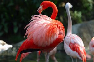 Red Flamingo by Guadisaves02