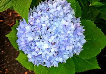 My First Hydrangea! by TheRebelWithNoCause