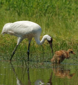 Whooping Crane Chick by RayRupnow