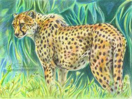 The Cheetah by 50dd