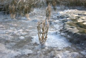 Iced Plant by TheConstructor
