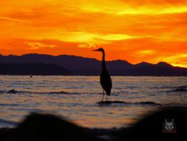 Heron Against Sunset by wolfwings1