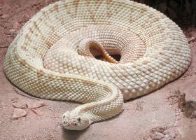 Neotropical Rattlesnake by TalkStock