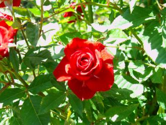 Roses are red by Taradaciuc