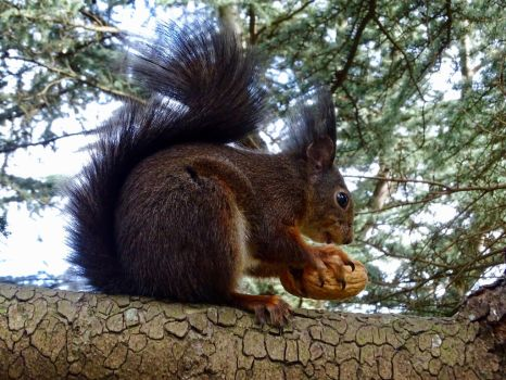 WalNut opening claw by Squirrels2poet2queen