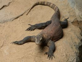 Komodo Dragon 02 by animalphotos