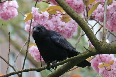 Pink dream for a crow by Momotte2