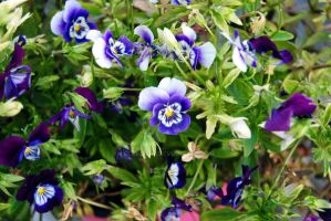 Flowers of Indigo and White by KEArnold