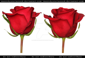 Red Rose cut out stock 1 by ManicHysteriaStock