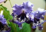 Geronimo (a friendly streptocarpus) by phantsythat
