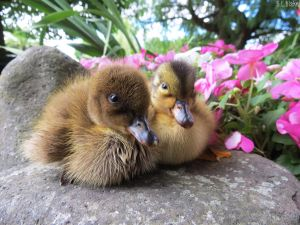 ducklings with flowers by kiwipics