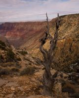 Grand Canyon Dead Tree by fuego316