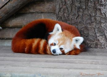 The red panda by ponyfleute