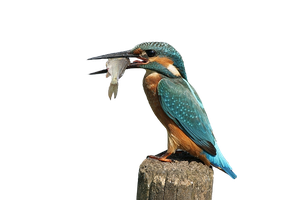 Kingfisher PNG by LG-Design