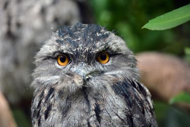 Tawny Frog Mouth by Pyroguy24