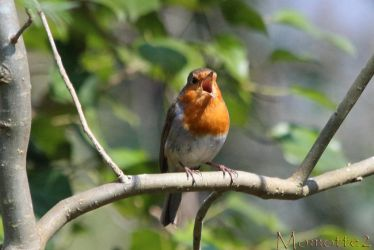 Easter song from robin by Momotte2