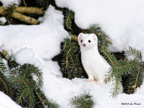 Short-Tailed Weasel 2 by Les-Piccolo
