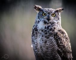 Great Horned Owl - Bubo Virginianus by Yuukon