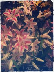lillies 1 by blackroselover