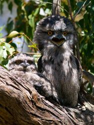 Tawny Frog-mouths by Chezza932