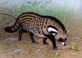 African Civet by WillemSvdMerwe