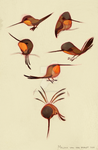Rufous Hummingbird by sketchinthoughts
