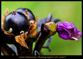 Ornamental Pepper by KSPhotographic
