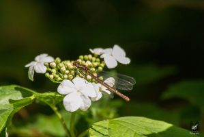 Damsel Fly by Takarti