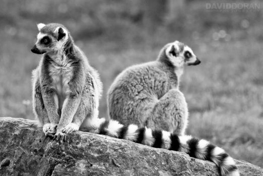 Ring-tailed Lemur by Dave-D