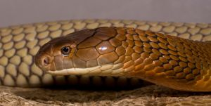 The king cobra by AngiWallace