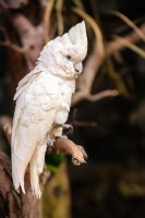 Cacatua alba by Quiet-bliss