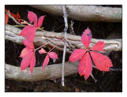 Red leaves.DSCN2040, with story by harrietsfriend
