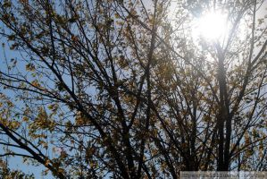 Silver Maple in Fall I by charliemarlowe
