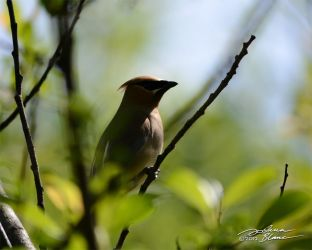Bohemian Waxwing Silhouette by themanitou