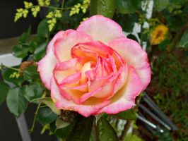 Double Delight Rose by Calypso1977