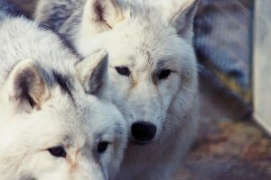 Arctic Wolves by BlackIce-Wolf
