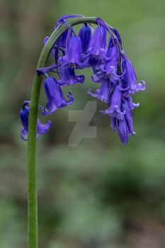 Pretty Bluebell Flower by photographybypixie