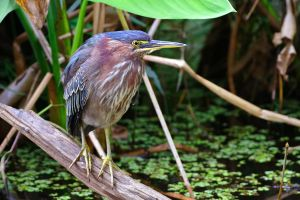 Green Heron by Jay-Co