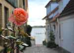 A flower in the alley by nsrosenqvist