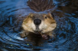 Beaver Toothpick by TerribleTer