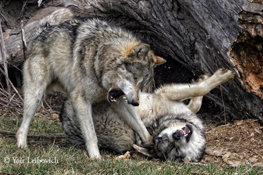 Wolves Explosion by Yair-Leibovich