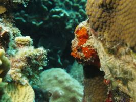 Peeking Frogfish by Meagharan