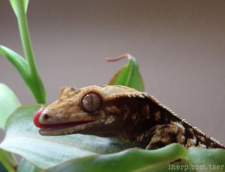 Crested Gecko in a Nepenthes by tser
