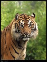 Tiger Portret by Dickie67
