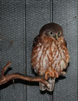 Brown Owl 3 by shhhhh-art-Stock