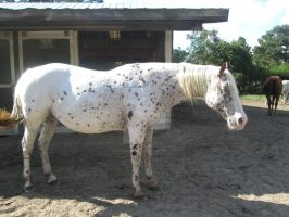 Appaloosa mare by ArmoredWings