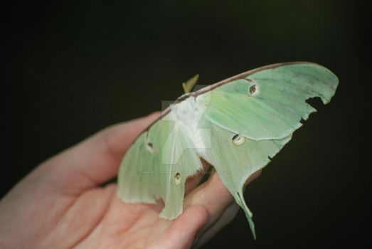 Luna Moth by mirielthepiratelover
